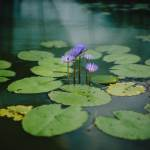 Lilly Pad Aquarium Backgrounds